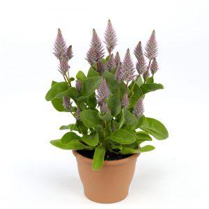 Gėlė uodegažiedis (Parduodama vazone)