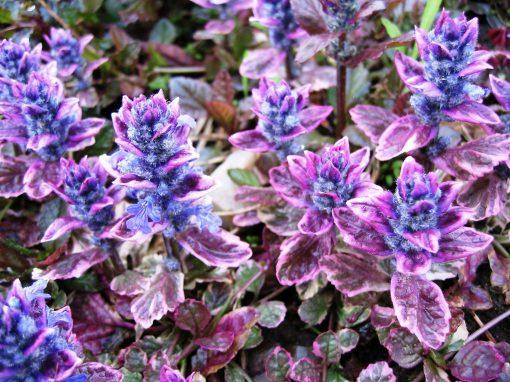 Gėlės nuotrauka. (Pavadinimas: Bugleweed)