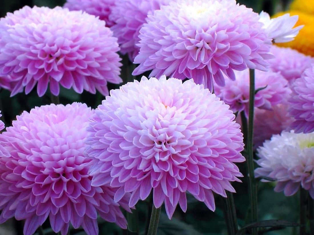 Gėlės chrizantemos