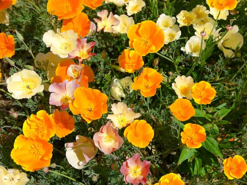 Gėlės nuotrauka. (Pavadinimas: California poppy)