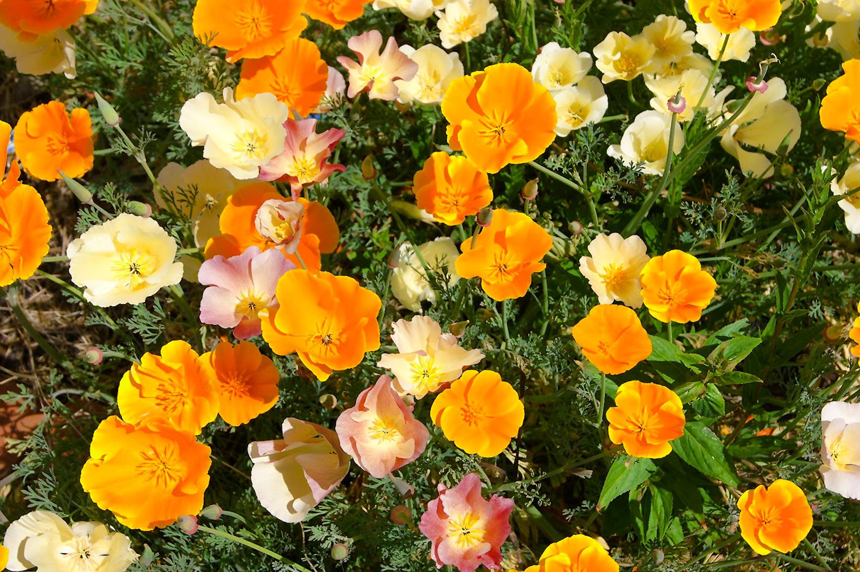 Gėlė Ešolcija