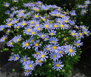 Gėlės felicijos (žydrosios)