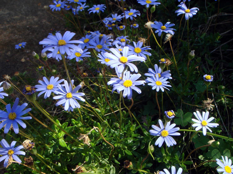 Gėlės felicijos
