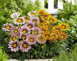 Gėlės gazanijos