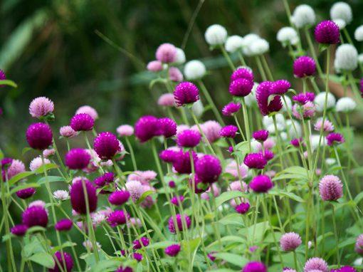 Gėlės nuotrauka. (Pavadinimas: Globe Amaranth)