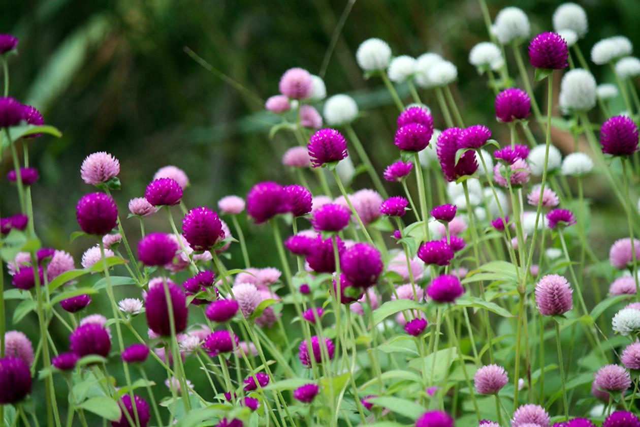 Rutulinė Gomfrena (gėlė)