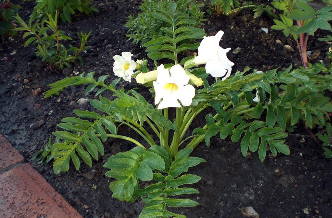 Gėlės inkarvilėjos