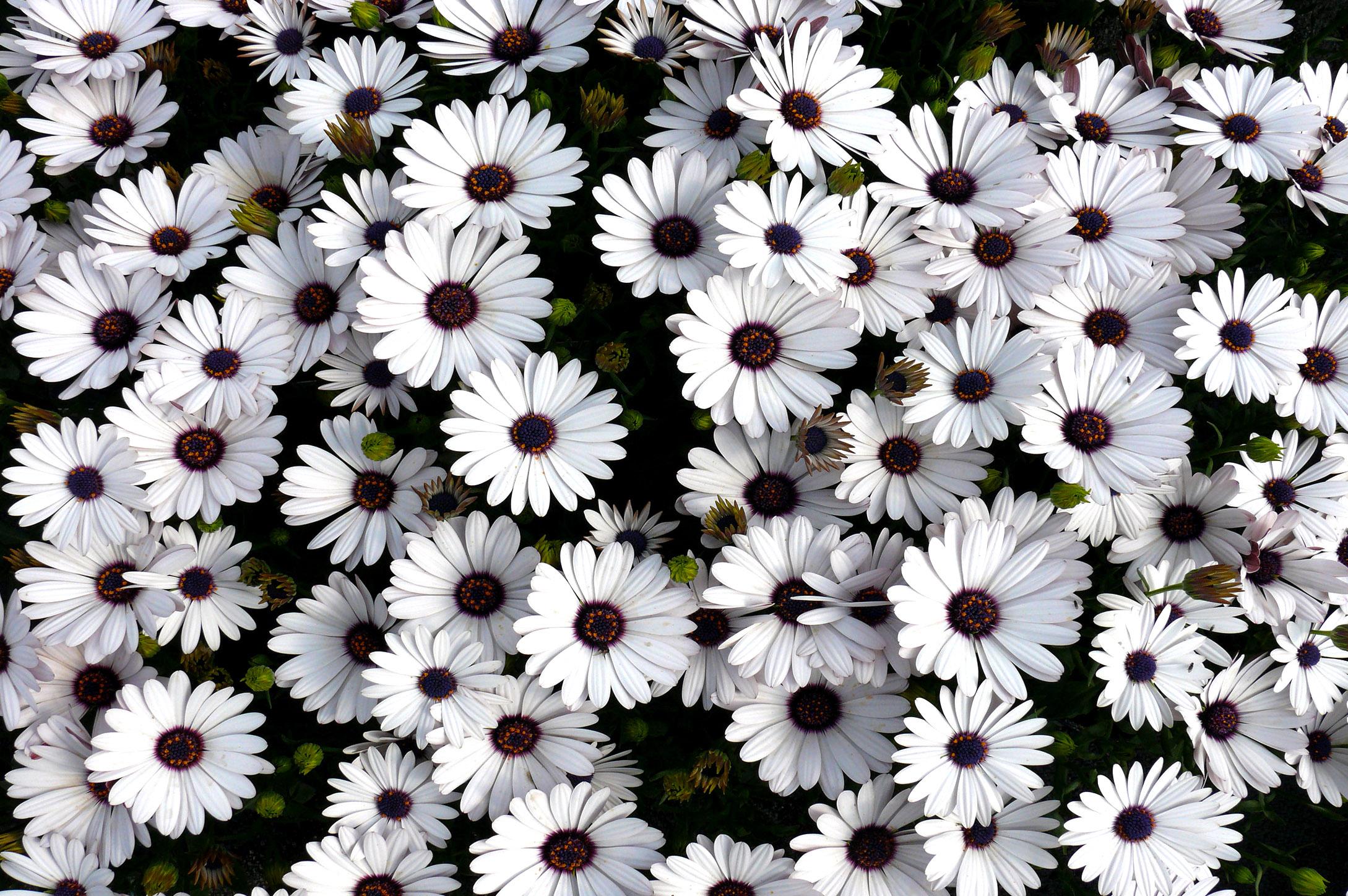 Gėlės Laumakės (baltos lauko gėlės)