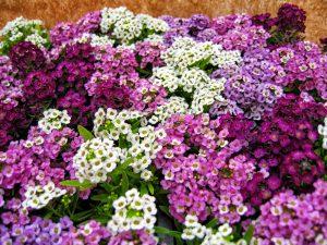 Gėlės lobuliarijos