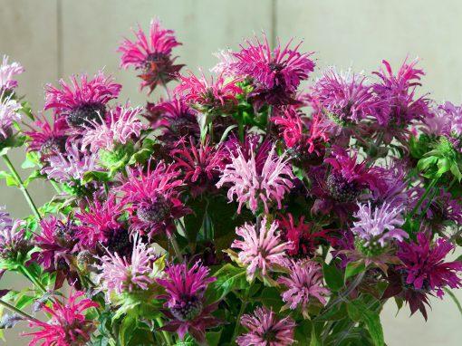 Gėlės nuotrauka. (Pavadinimas: Beebalm)