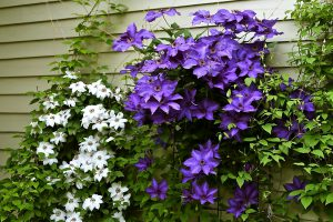 Gėlės raganės