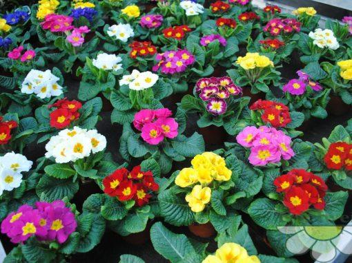 Gėlės nuotrauka. (Pavadinimas: Primrose)