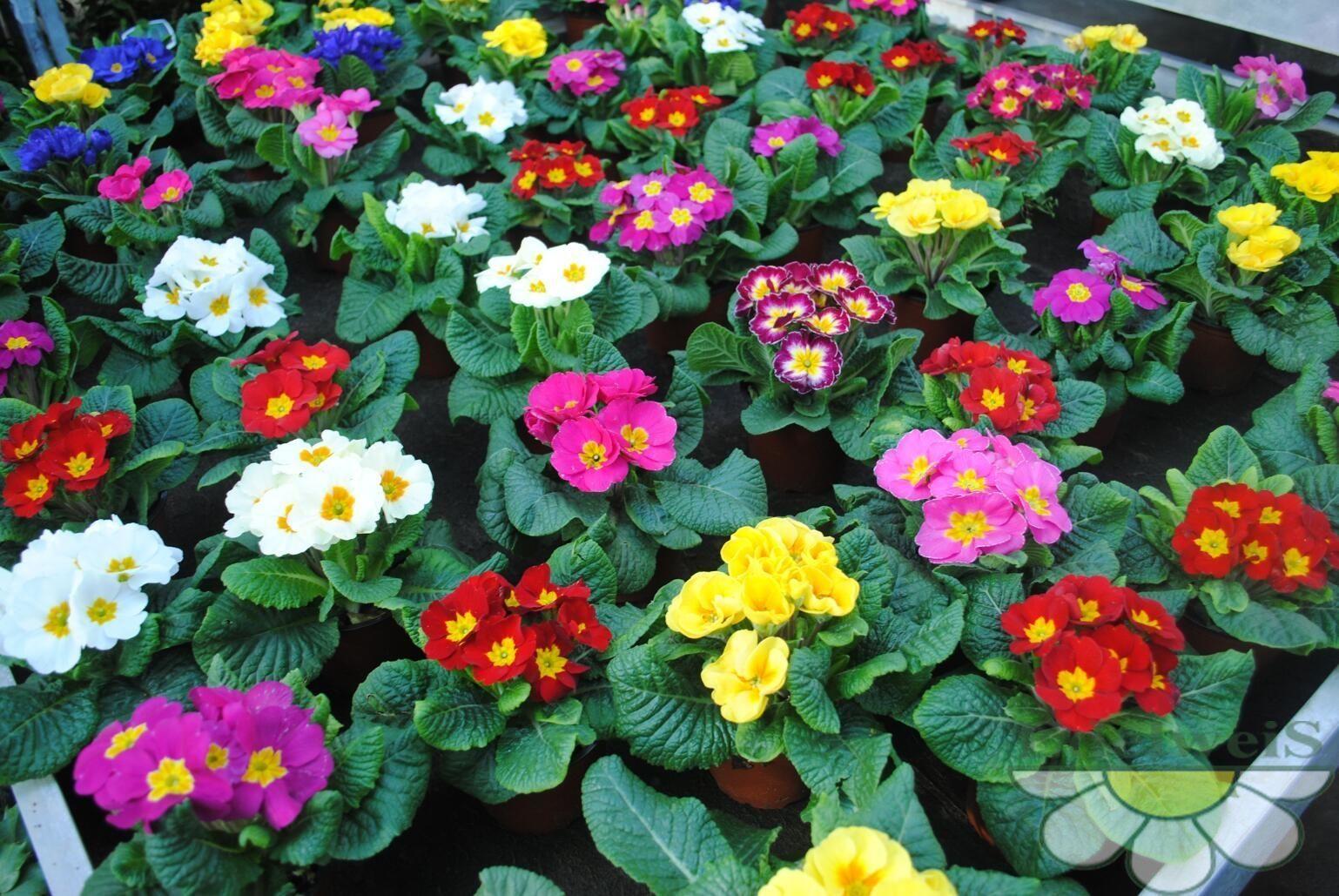 Gėlės Raktažolės
