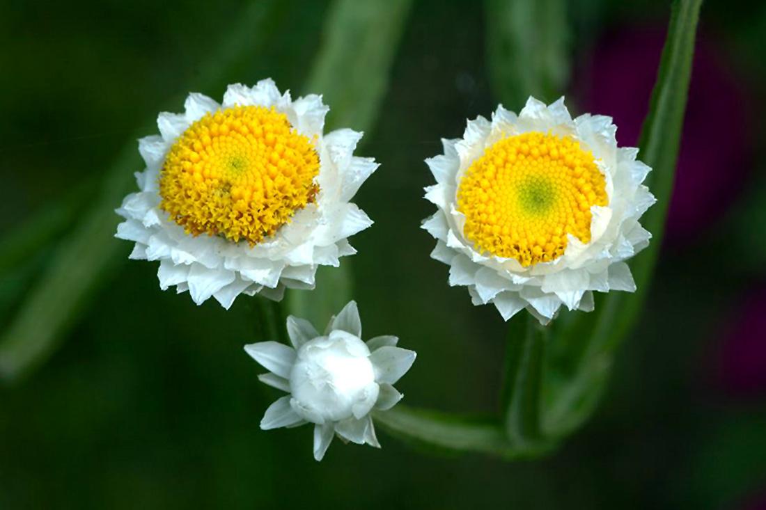 Gėlės sagutės (ammobium)