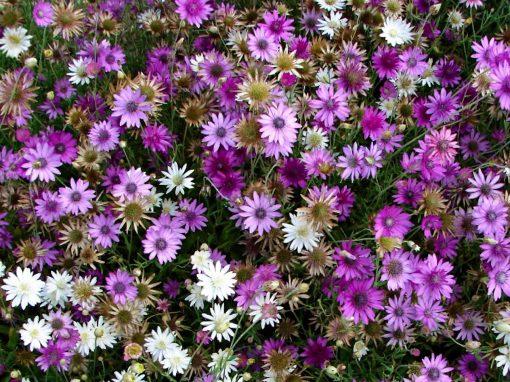 Gėlės nuotrauka. (Pavadinimas: Sausiukas)