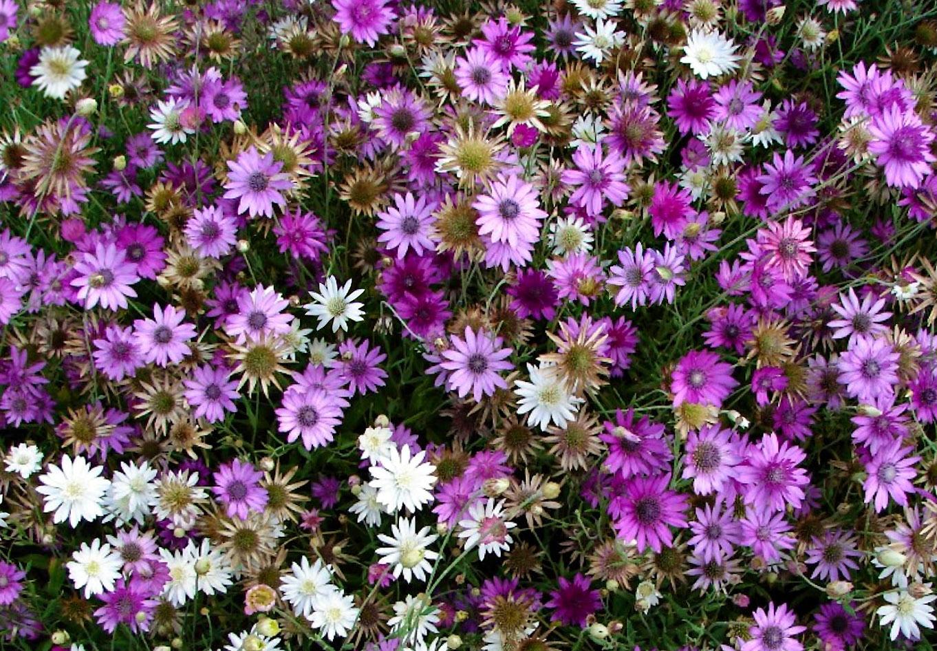 Gėlės Sausiukai