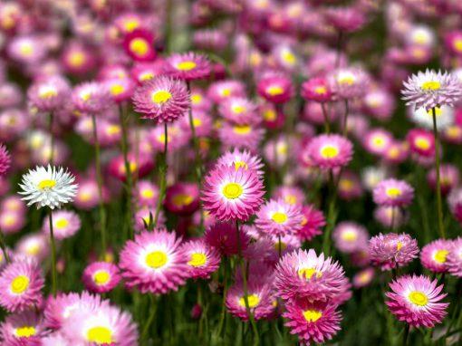 Gėlės nuotrauka. (Pavadinimas: Sausutis)