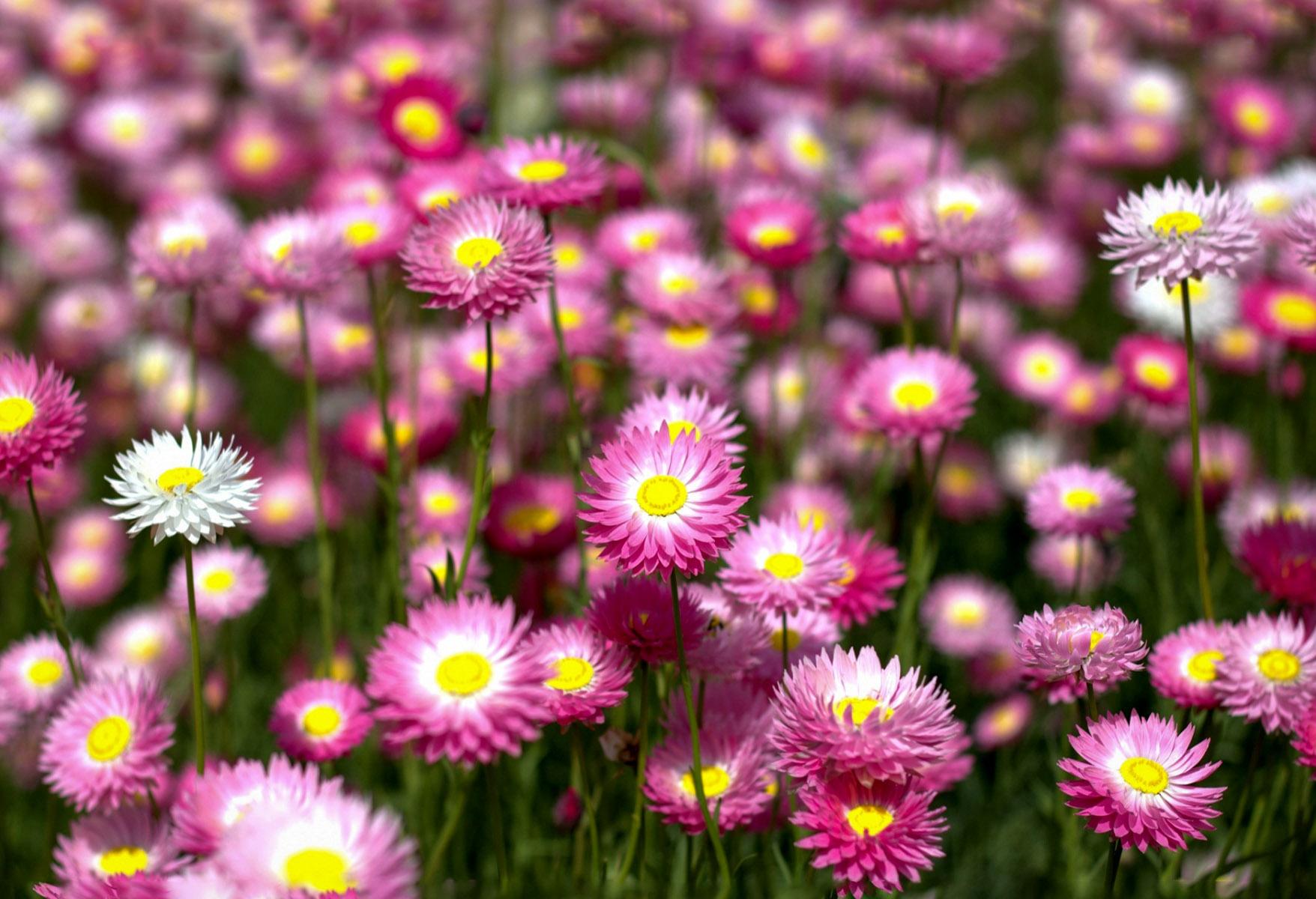 Gėlės Sausučiai