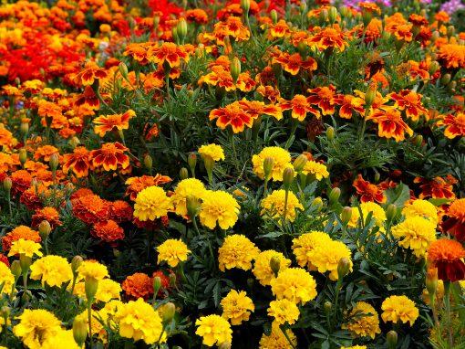 Gėlės nuotrauka. (Pavadinimas: Marigold)