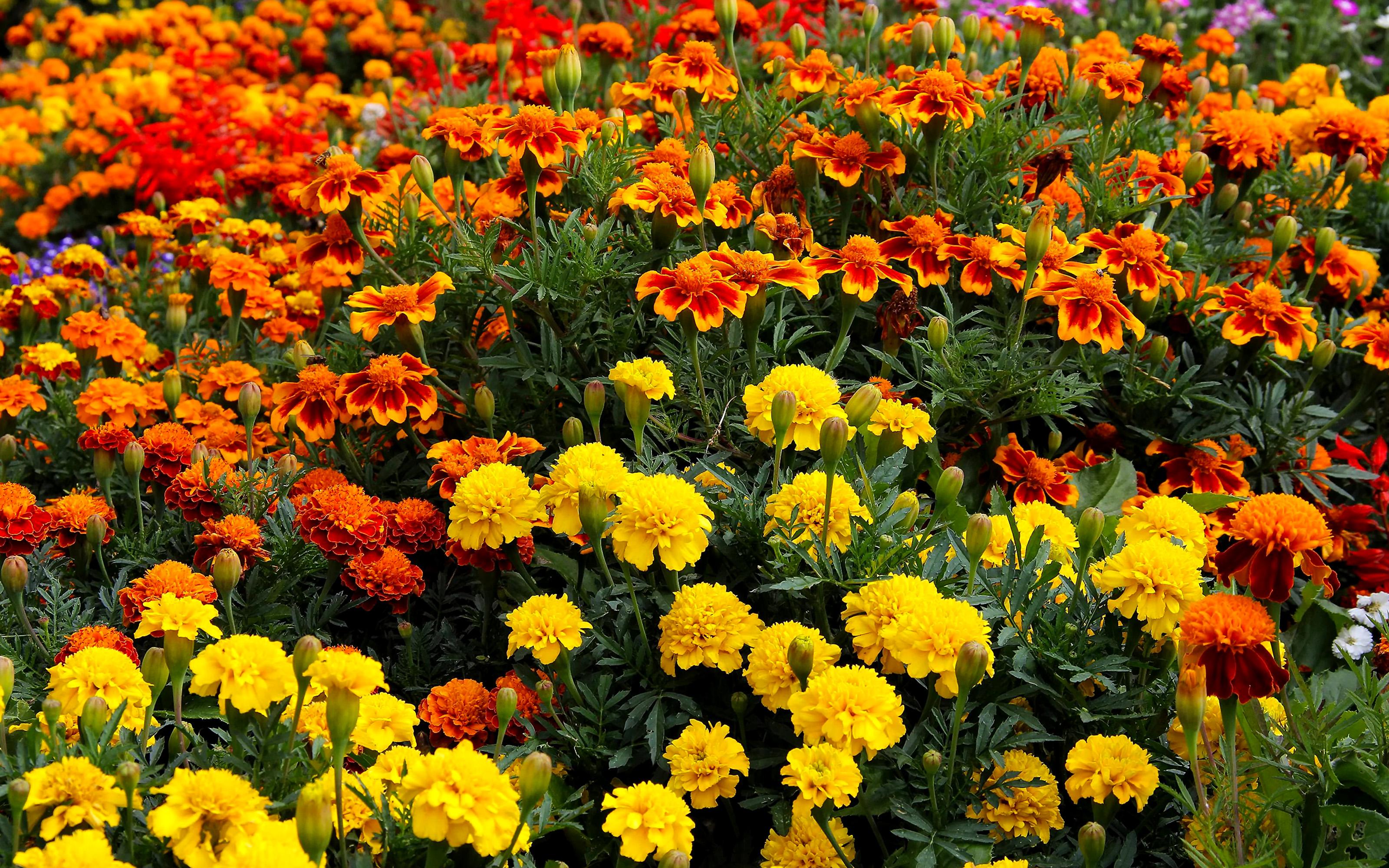 Gėlės Serenčiai