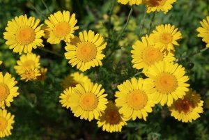 Geltonasis bobramunis (Anthemis tinctoria)