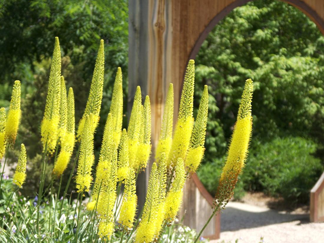 Geltonos gėlės Eremūrai