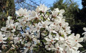 Gluosnialapė magnolija (magnolia salicifolia)