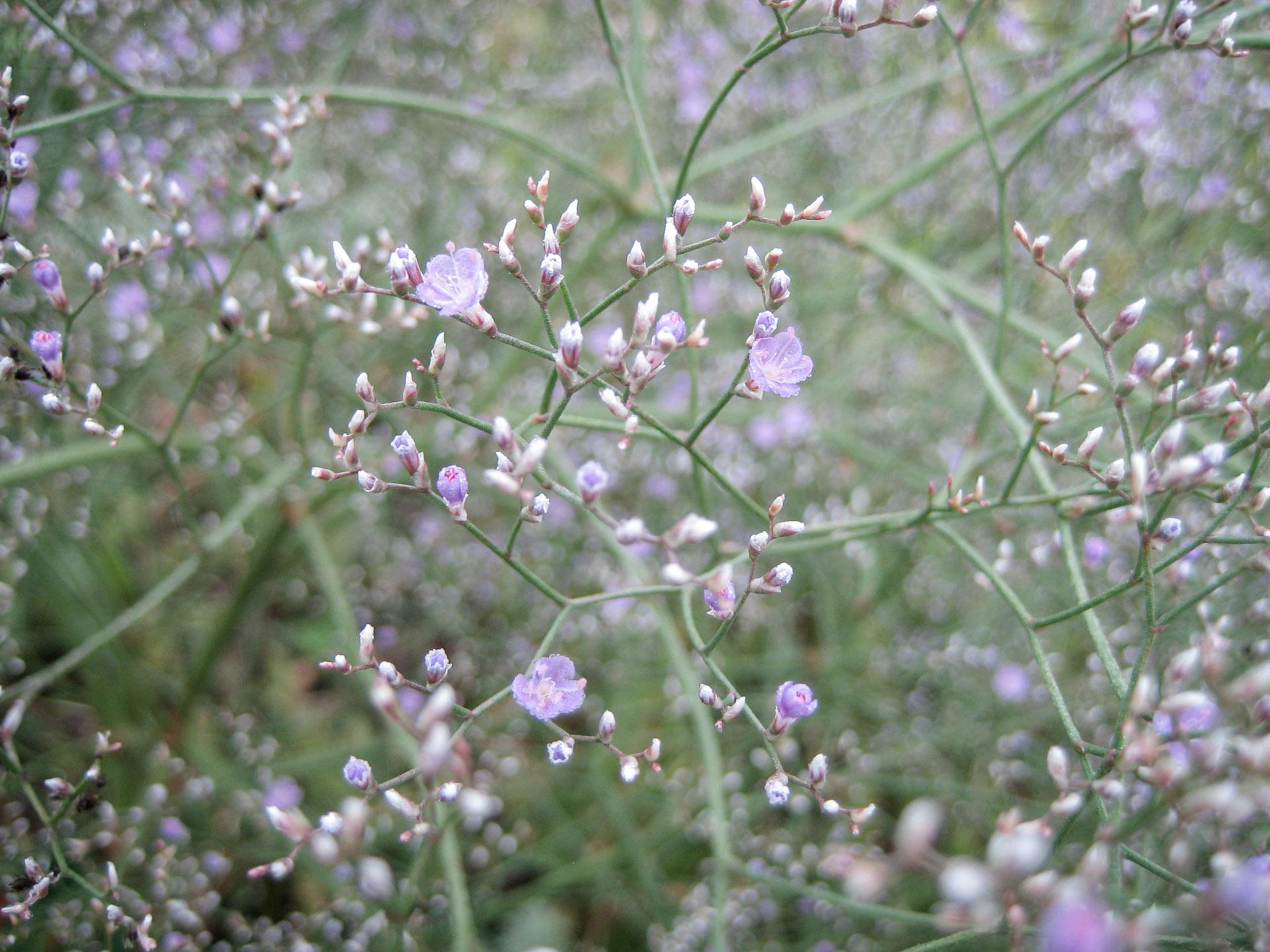 Guboja (augalas)