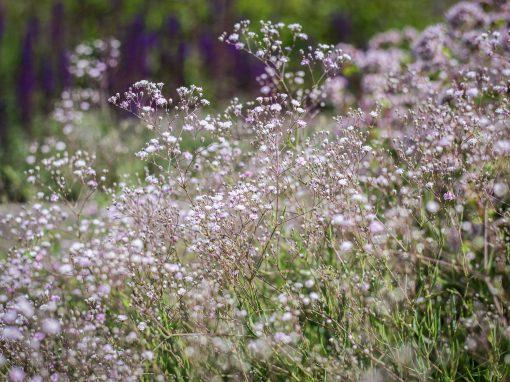 Gėlės nuotrauka. (Pavadinimas: Guboja)
