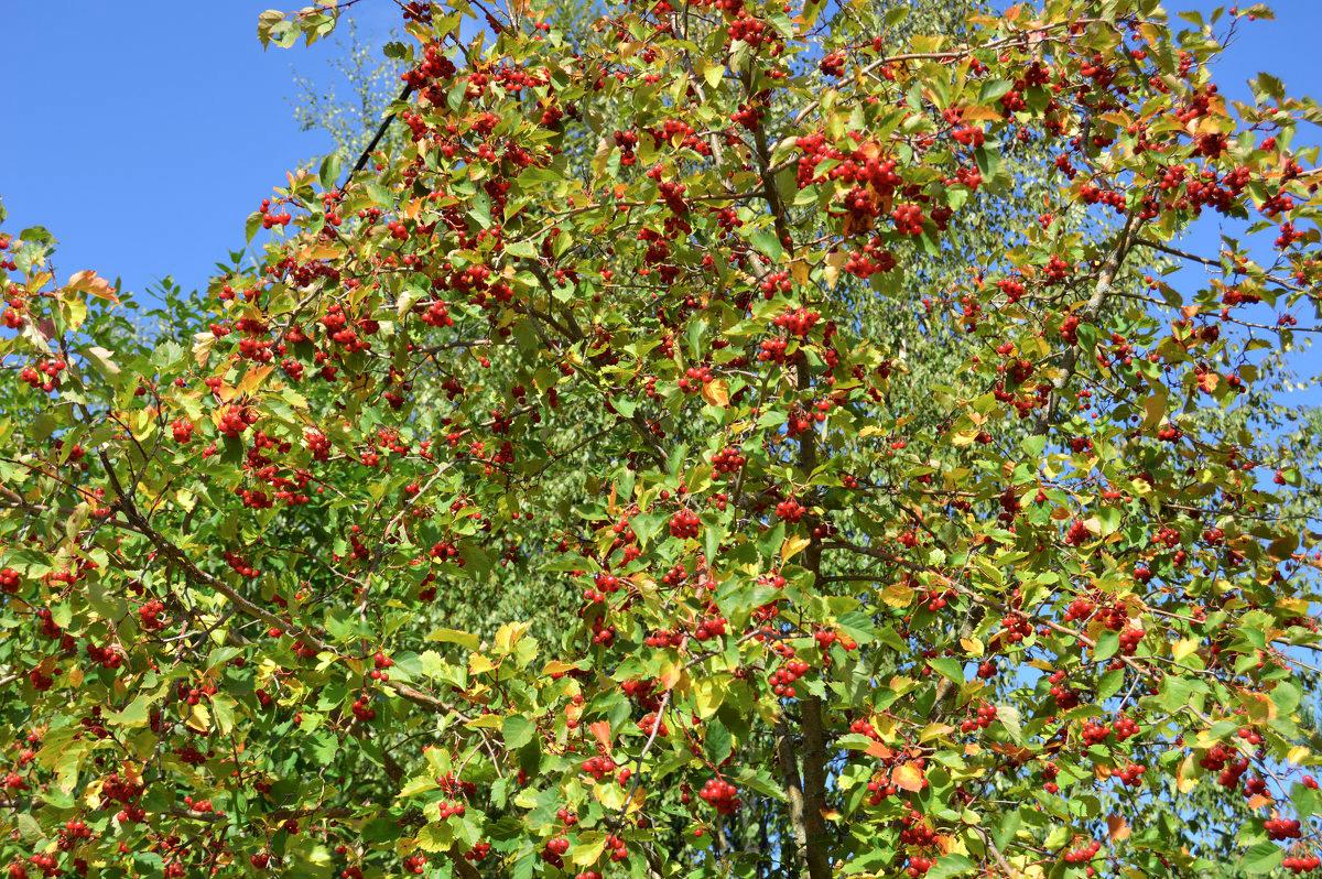 Gudobelė (augalas)