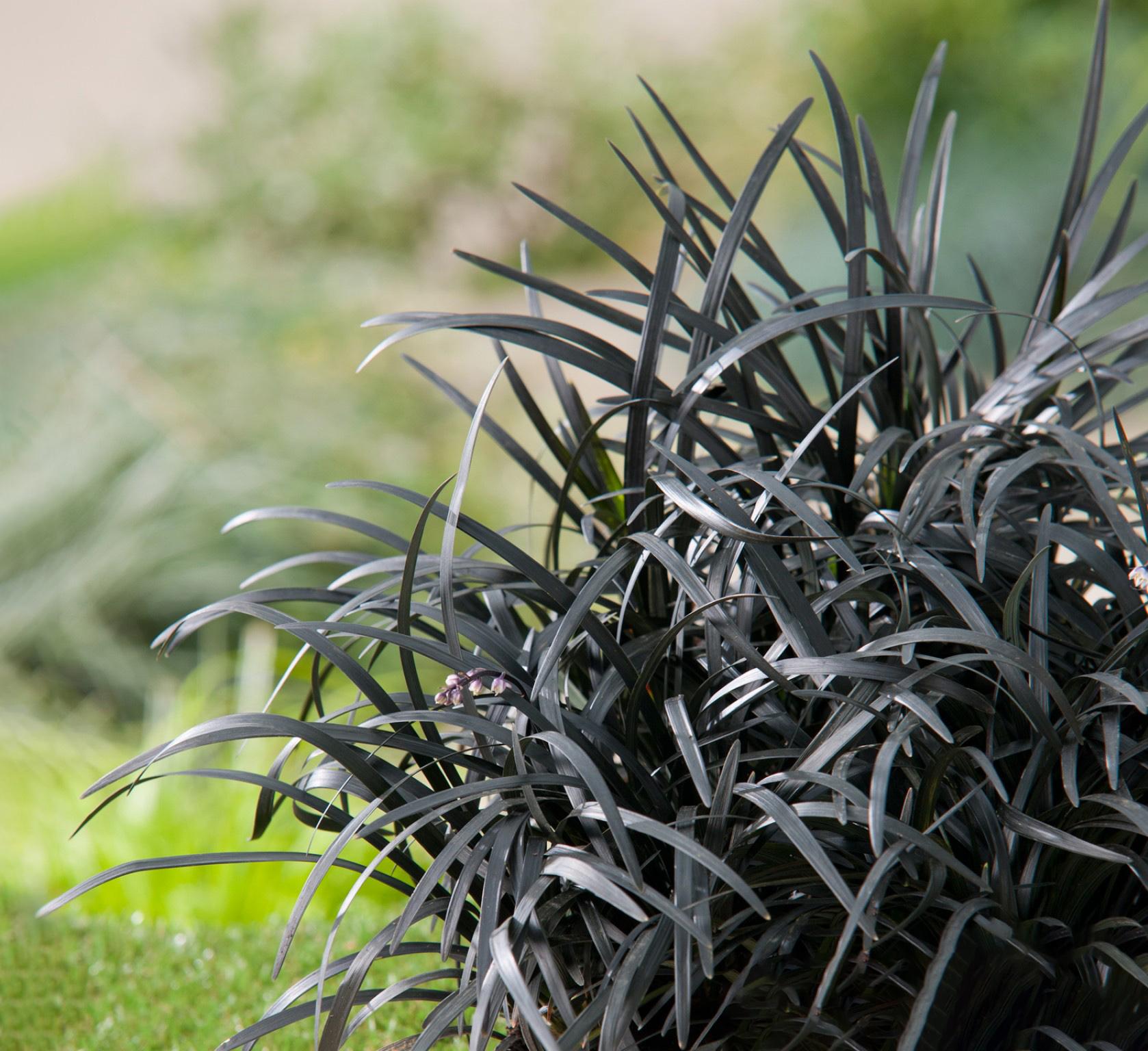 Gyvatbarzdė dekoratyvinis augalas (žolė)