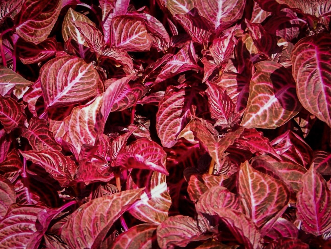 Herbsto Irezinė (gėlė)