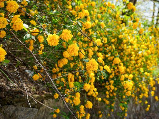 Gėlės nuotrauka. (Pavadinimas: Japoninė kerija)