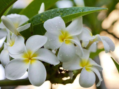 Gėlės nuotrauka. (Pavadinimas: Frangipani)