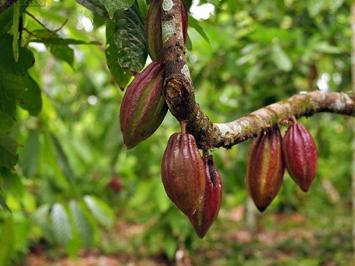 Gėlės nuotrauka. (Pavadinimas: Cacao Tree)