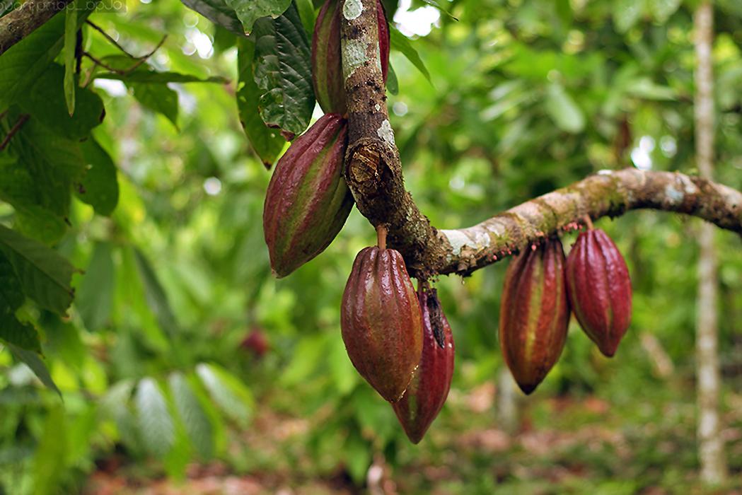 Kakavos medis