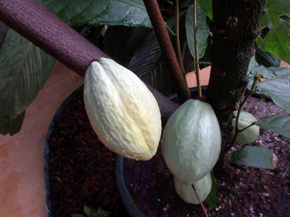 Kakavos medis vazone