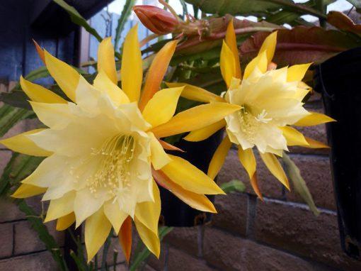 Gėlės nuotrauka. (Pavadinimas: Climbing Cacti)