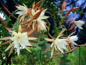 Kaktusas lapenis (epiphyllum anguliger)