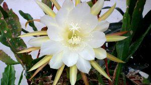 Kaktusas lapenis (epiphyllum crenatum)