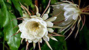 Kaktusas lapenis (epiphyllum oxypetalum)