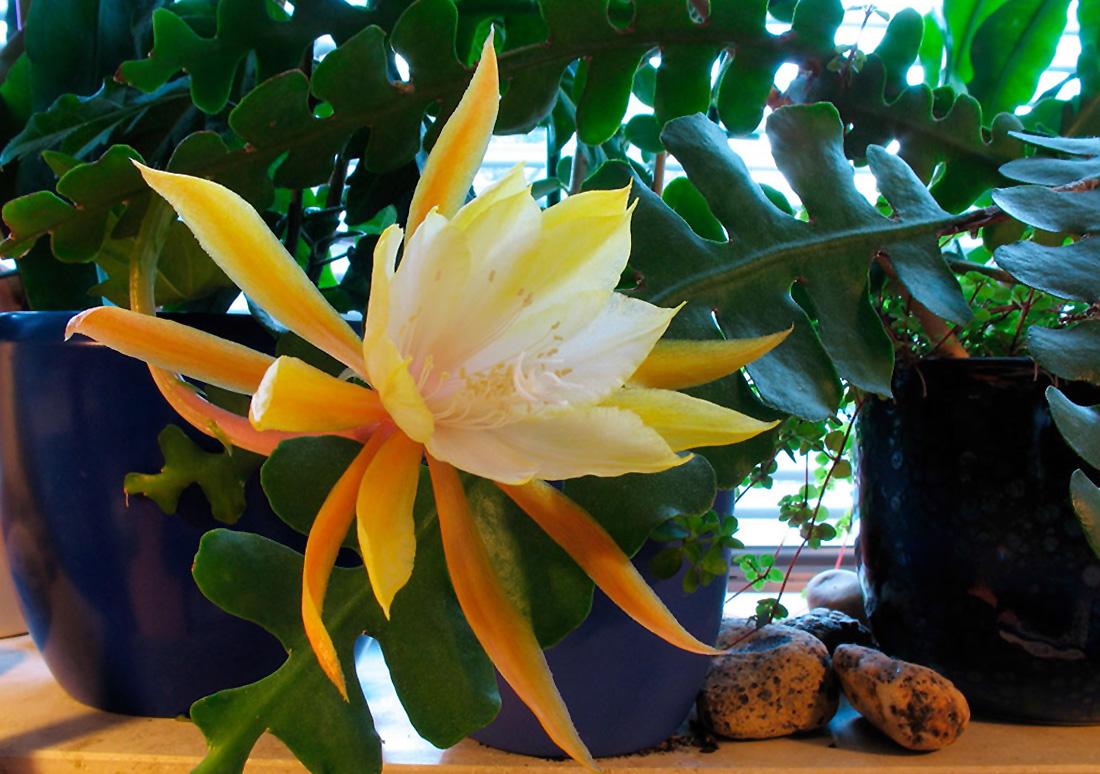 Kaktusas lapenis (žiedas)