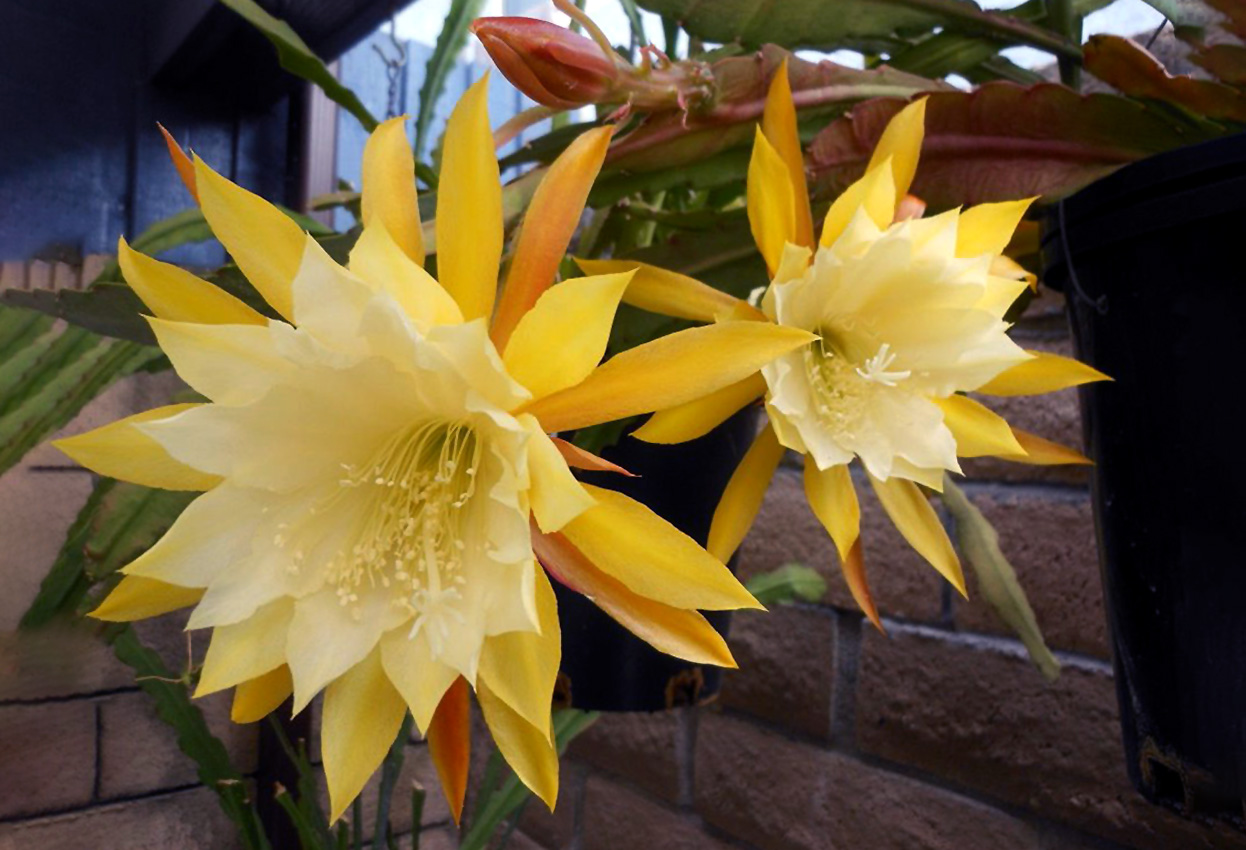 Lapenis (kaktusas)