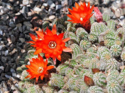 Gėlės nuotrauka. (Pavadinimas: Peanut cactus)