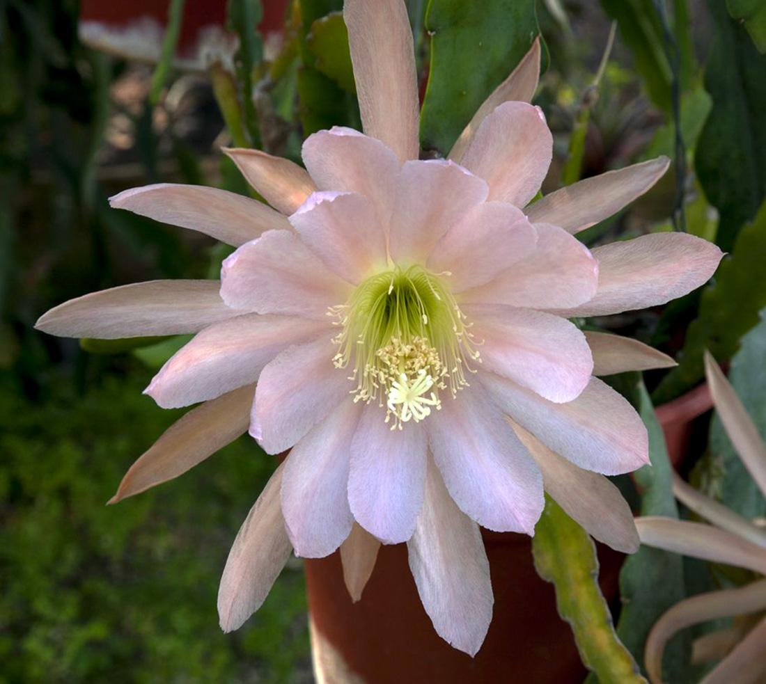 Kaktuso žiedas (Augalas lapenis)