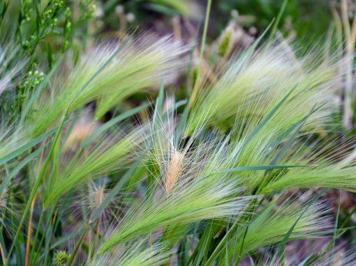 Gėlės nuotrauka. (Pavadinimas: Foxtail barley)