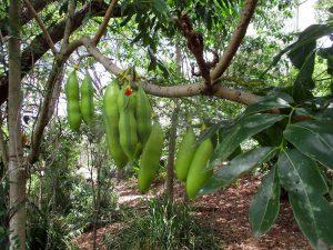 Kaštonpupė Egzotinis medis (castanospermum)