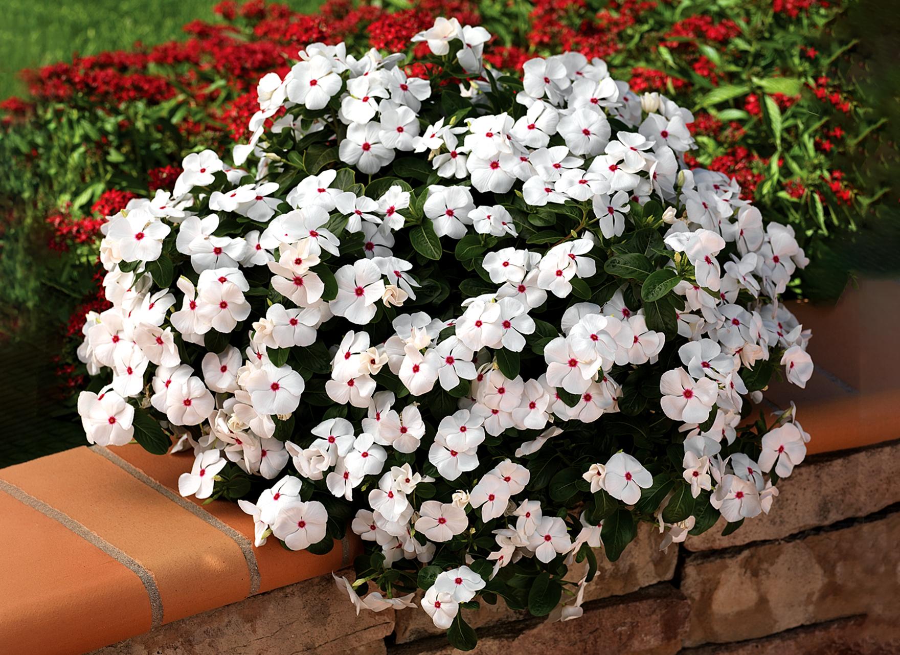 Gėlė Katarantas