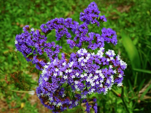 Gėlės nuotrauka. (Pavadinimas: Sea lavenders)