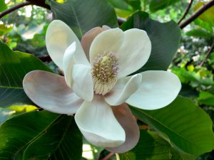Kiaušiniškoji magnolija (magnolia hypoleuca)
